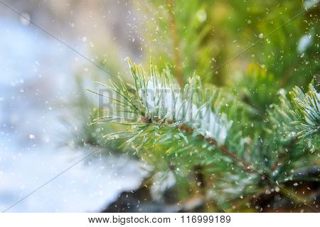 Spruce Branch In The Snow