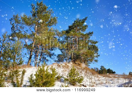 Winter Pine Forest In Sunny Day