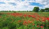 Постер, плакат: Red Carnation Poppy Field