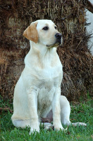 stock photo of working-dogs  - a portrait of a sitting yellow labrador retriever dog watching other dogs - JPG