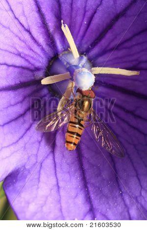 Hoverfly on purple Campanula