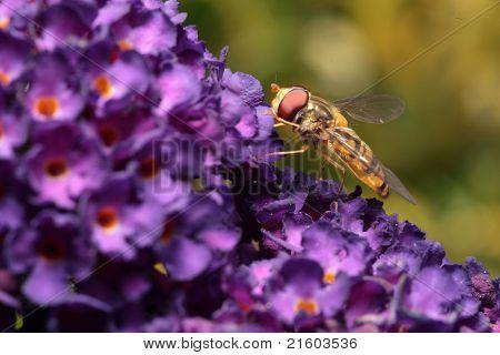 Hoverfly on purple flower of Butterfly Bush