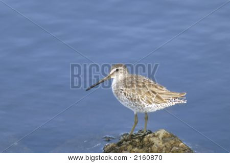Shortbilled Dowitcher   075 J