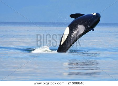 Orca flipping over