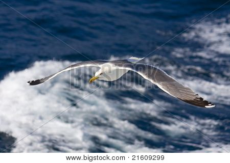 Seagull flying above the Aegean