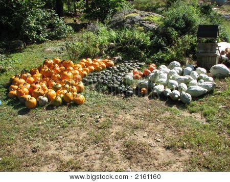 Pumpkin And Squash Harvest
