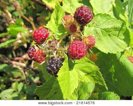 Close up of wild rasberries in summer