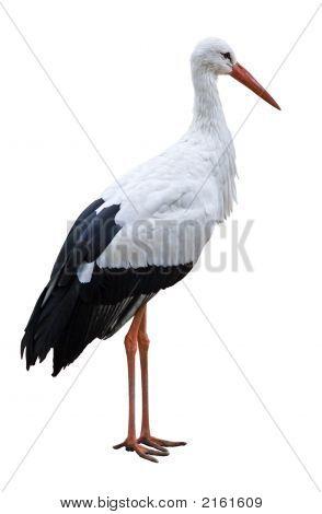 Weißstorch Vogel auf leere hintergrund isoliert