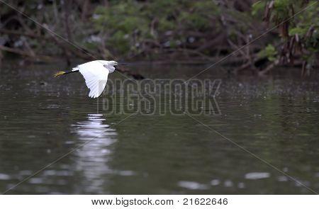 An egret flying