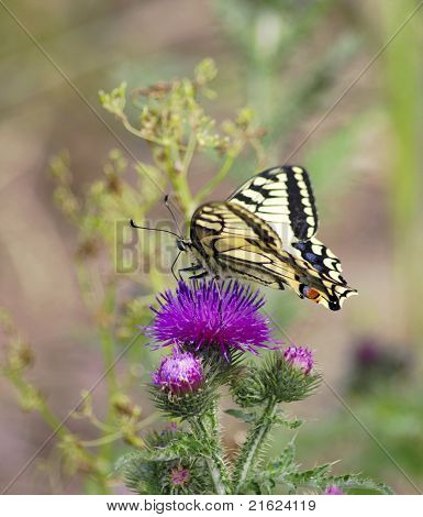 Yellow machaon on the pink flower and soft blur background