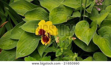Heartsease flower