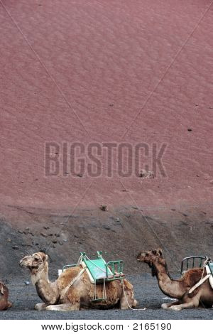 Camels At Rest