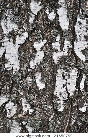 Old Birch Bark Texture