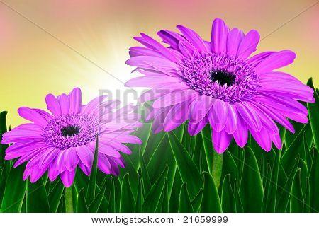 Zwei schöne Rosa Gänseblümchen und Sonne bei Sonnenaufgang