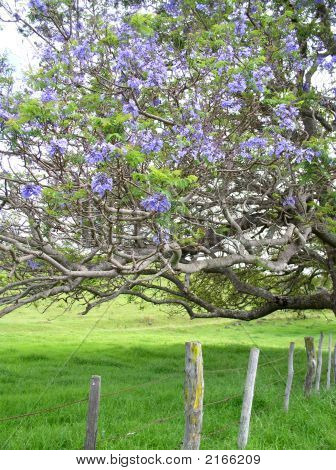 Jacaranda Tree On Maui