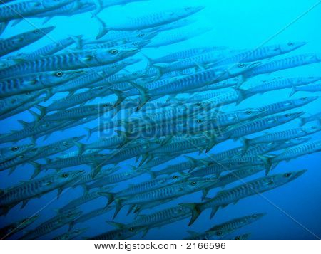 Barracudas Swimming To Surface