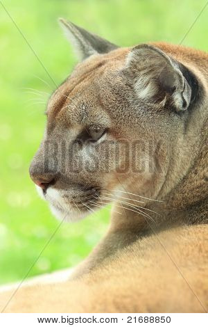 Closeup profile of cougar