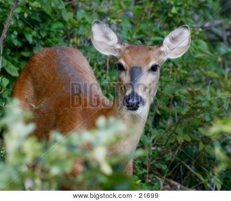 Deer In The Wildlife