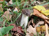 Least weasel hiding in the leaves