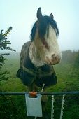 pic of clydesdale  - A huge horse peers over a gate on a misty English morning. ** Note: Slight graininess, best at smaller sizes - JPG