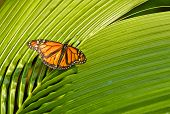 stock photo of monarch butterfly  - beautiful orange monarch butterly sits on long green palm leaves - JPG