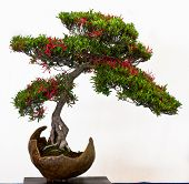 Azalea With Flowers As Bonsai