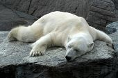image of polar bears  - Tired polar bear  - JPG