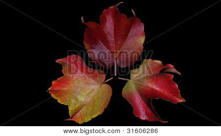 three beautiful red yellow autumn leaves