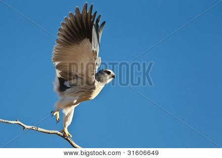 Black-shouldered Kite take of