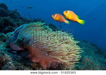 Anemone Fishes, Maldives