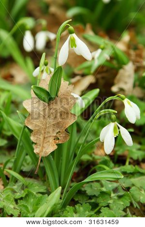 Snowdrops, Sprouted Through The Leaf