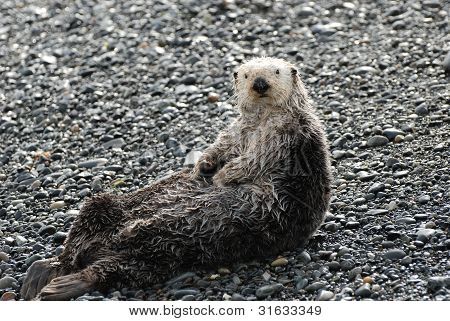 Sea Otter On Land