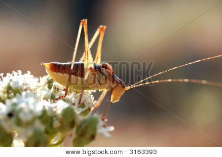 Close-Up Shot Of A Grasshopper On A Flower