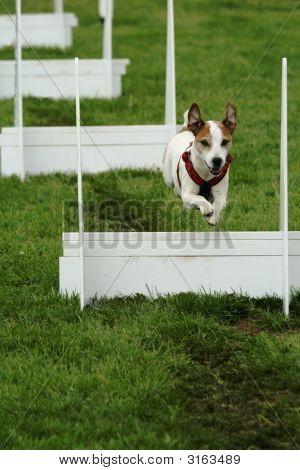 Flyball Competition