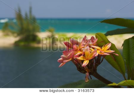 Wild Plumeria Flower On A Tropical Shore