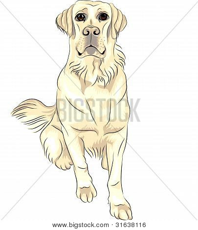 Vector Color Sketch perro raza blanca Labrador Retrievers sentado