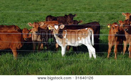 Calf's watching thru the fence