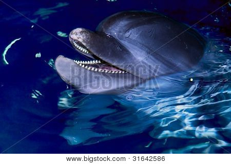 Bottle-nose Dolphin