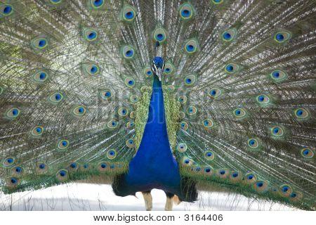 Peacock Presenting 1