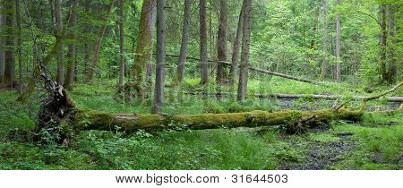 Summer Deciduous Stand Of Bialowieza Forest With Hornbeam Tree Lying