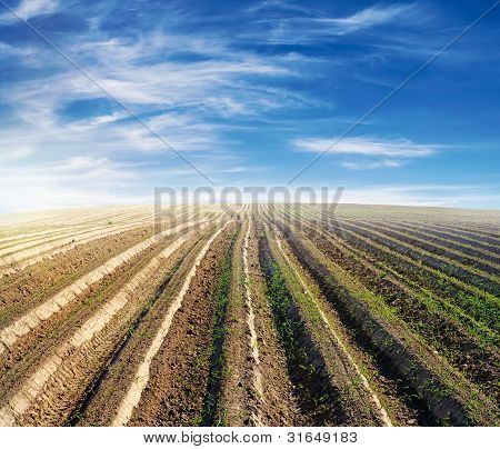 Cultivated Field Over Blue Sky In Summer