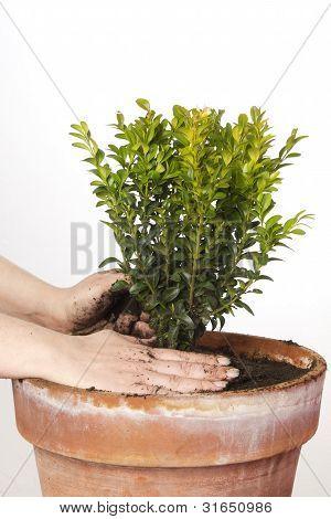 Box Tree In A Big Pot
