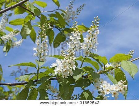 Branch Of Blossoming Bird Cherry