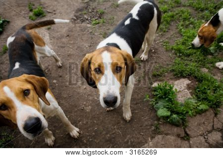 Rack Of Hounds Of Dogs