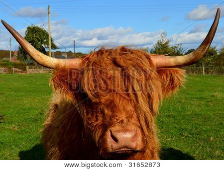 Highland Cow Kirriemuir Perthshire Scotland