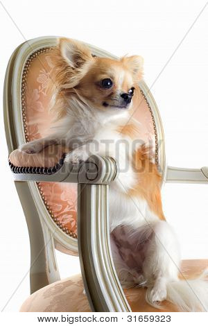Chihuahua On Antique Chair