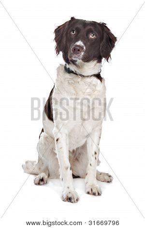 Mixed Breed Dog. Dutch Partridge Dog, Frisian Pointing Dog