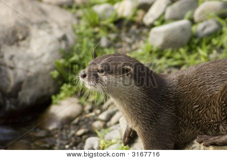 Malasian Shortclawed Otter