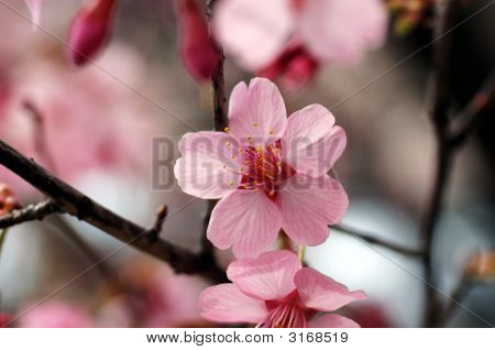 Close Up Shot Of Pink Cherry Blossom Flower