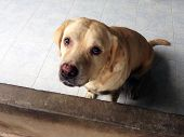Sadness Old Dog Breed Labrador Retriever Looking Like Use The Sad Eyes Appeal To His Owner. Abandone poster